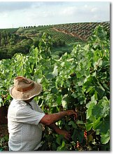 Grape harvest at Spadafora estate